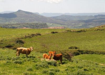 vaches sardes