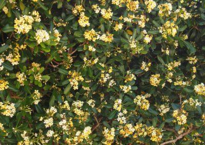 pittosporum en fleur
